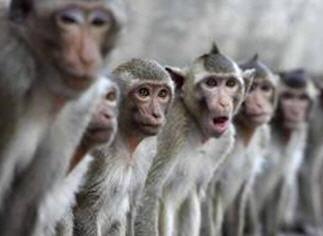 macaquemonkeys